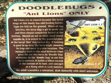 what is the real name for a doodlebug our window on nature