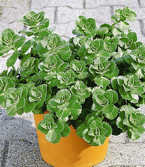 Verpiss Dich Pflanze Kaufen 3259 by Coleus Canin Verpiss Dich 174 Pflanze 1a Qualit 228 T Baldur