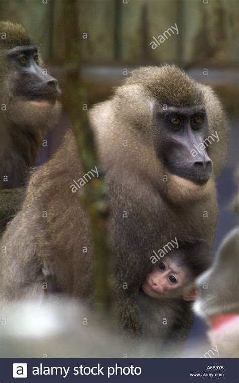 gorbi  primate drill baboon stock photo royalty  image  alamy
