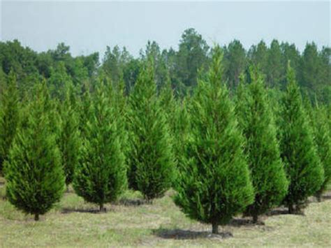 awesome picture of christmas tree farms georgia
