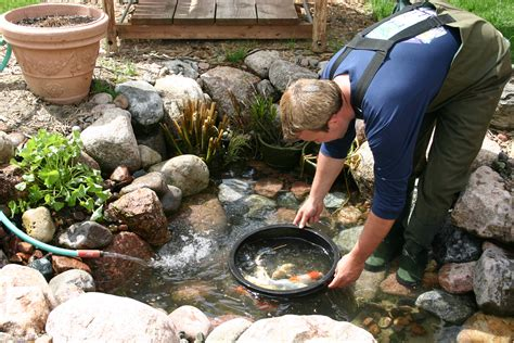 backyard fish pond maintenance how to clean a koi pond aquareale pond blog