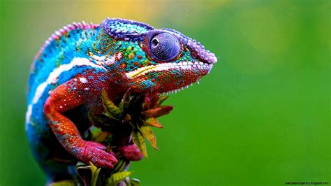 colorful lizard colorful chameleon wallpapers gallery