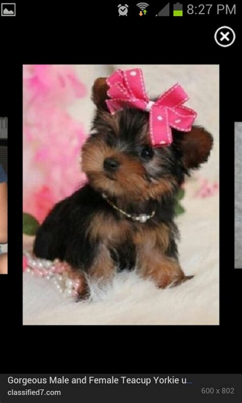 teacup yorkie hair bows 17 best images about 4 harley on hair bows puppys and yorkie