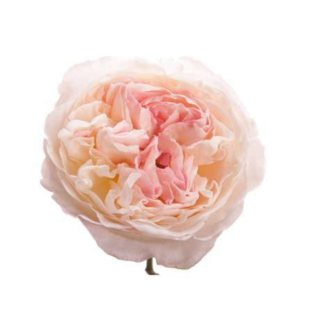Light Pink Roshes by Light Pink Garden Keira Garden Roses Roses