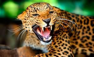 La Jaguars Los Animales M 225 S Peligrosos De La Selva