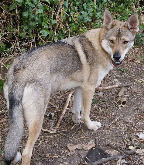 breeds that look like wolves the best seven dogs that look like wolves pethelpful