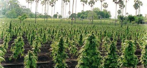 Growing Marijuana How to Grow Cannabis in Australia