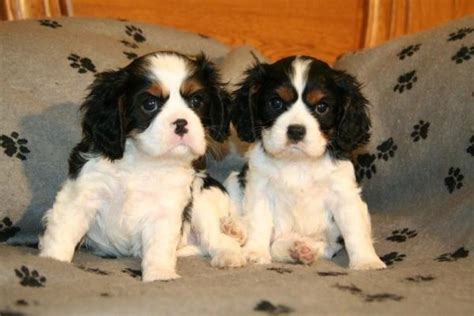 bringing a puppy home to another bringing home a cavalier king charles spaniel puppy sharda bakers world