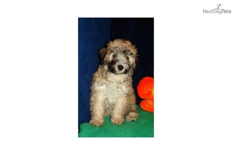 bordoodle puppies for sale near me poodle mix 20 to 30 pounds breeds picture