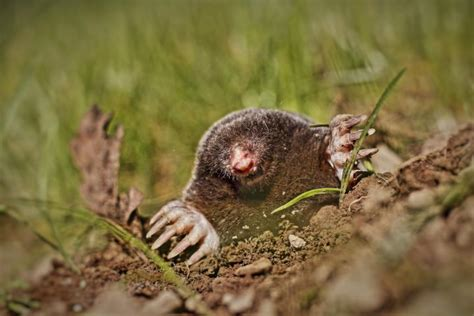 moles in backyard moles how to identify and get rid of moles in the garden