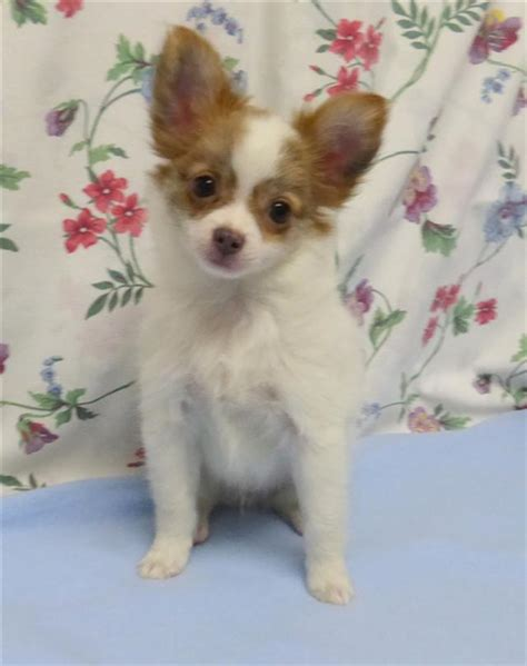 chihuahua puppies oregon haired chihuahua puppies for sale oregon breeder breeds picture