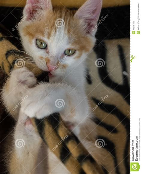 house cat scientific name yellow cat nulla luctus felis stock photo image 41010792