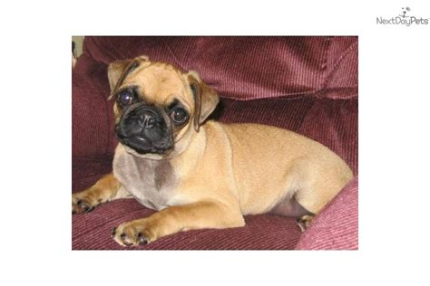 apricot pug puppy meet murfy a pug puppy for sale for 125 apricot pug quot murfy quot