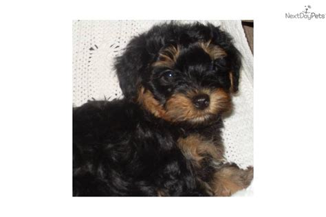 yorkie puppies for sale in san antonio tx shih tzu shih tzu for sale in san antonio tx 3496499552 breeds picture