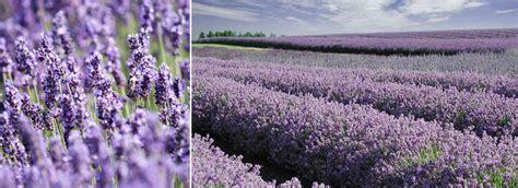 cotswold lavender fields lavender farm snowshill visit