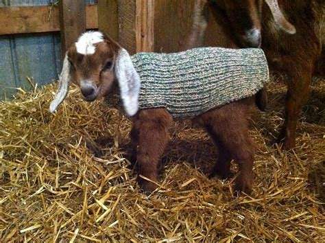 Pattern For Knitted Goat Sweater | ravelry scrappytbear s baby goat sweater free knitting