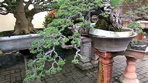 Bakalan Bonsai Kawista tanaman bonsai juara versi on the spot