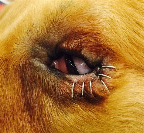 entropion in pugs temporary eyelid tacking in dogs vetgirl veterinary