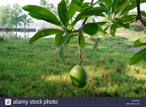 fruits of a poisonous tree cerbera odollam tree also known as pong pong or