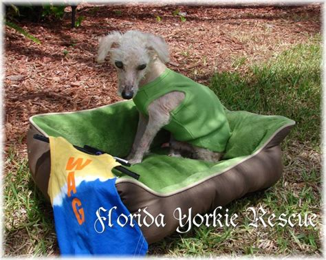 yorkie rescue florida walker finds poodle to tree with worst of abuse rescuers seen