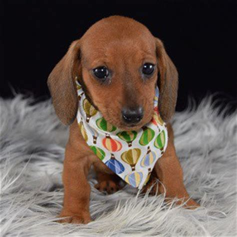 dachshund puppies ma dachshund puppy for sale lombardi puppies for sale in pa ma va