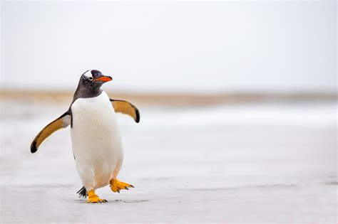 Penguin S 20 facts about penguins for world penguin day mental