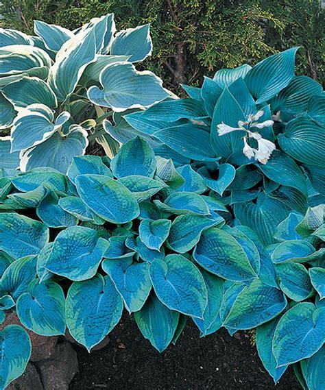 zulily  cool blue mix hosta