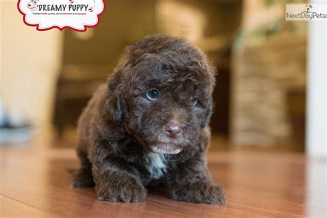 doxiepoo puppies for sale poodle miniature puppy for sale near washington dc c58f74b9 0901