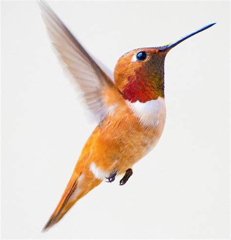 imagenes increibles de colibries una fot 243 grafa captura bellas im 225 genes de colibr 237 es en su