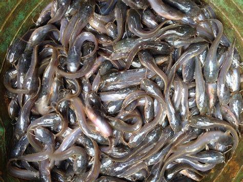 Bibit Lele Jenis Sangkuriang 7 jenis ikan lele dan gambarnya gambar pedia