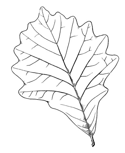 birch leaf coloring page free coloring pages of tree bark