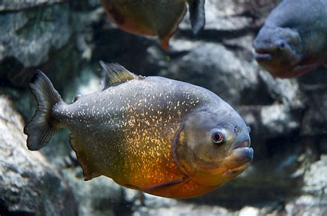 Sporcle Periodic Table Amazon Rainforest Animals Quiz By Wolfyisgaming123