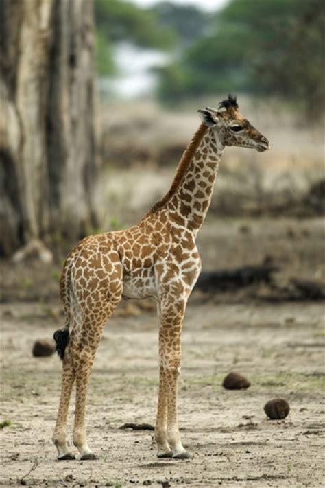 imagenes uñas jirafas giraffe reproduction giraffe facts and information