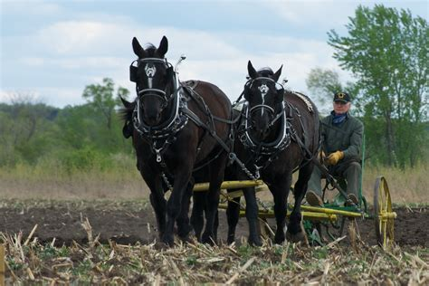 Heron Meaning by File Plowing Percheron Team Jpg Wikimedia Commons