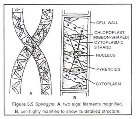 spirogyra reproduction diagram spirogyra cycle of spirogyra and germination of