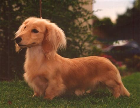 where can i get a golden retriever if i can t get a golden retriever dachshund a haired dachshund would certainly