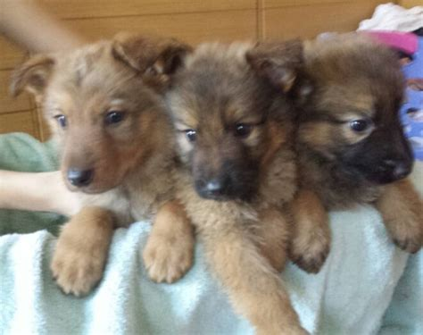 purebred czechoslovakian wolfdog puppies for sale 201 best images about dogs on