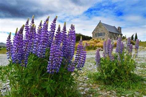 Find In Nz Where To Find Lupins In New Zealand Backpacker Guide New Zealand