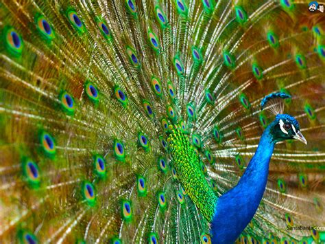 desktop nature wallpaper indian blue peacock free full hd wide nature wallpapers images i beautiful nature