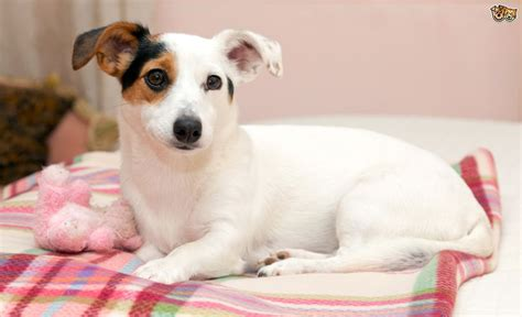 phantom pregnancy in dogs phantom pregnancy in dogs pets4homes