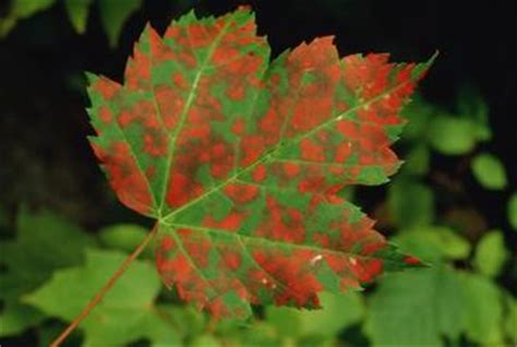 maple tree brown leaves brown spots on maple tree leaves home guides sf gate