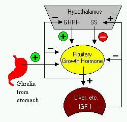 growth hormone (somatotropin)
