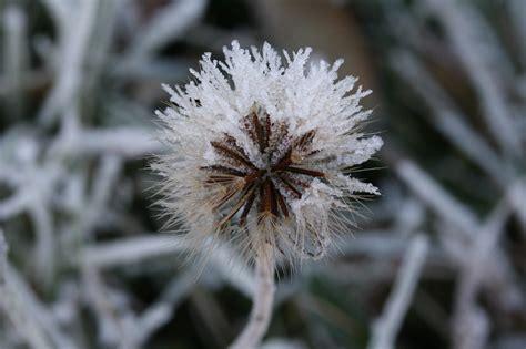 fiori di ghiaccio dente di fiori ghiaccio 183 foto gratis su pixabay