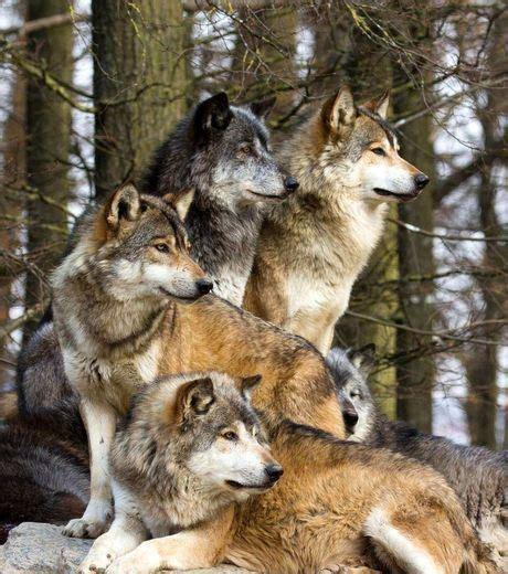 imagenes de la familia wolf foto uma fam 237 lia de lobos observando