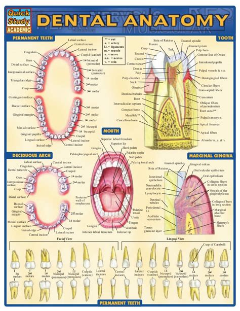 dental anatomy coloring book pdf dental anatomy reference guide
