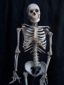 Halloween Prop Props For Rent Amp Portfolio Halloween Skeletons And Bones Clean Bone Skeleton With Cast