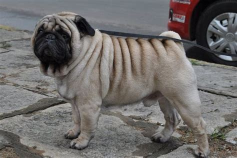 pug pedigree a pug with wrinkles all not just the 184638 152208474839276 3493859 n jpg
