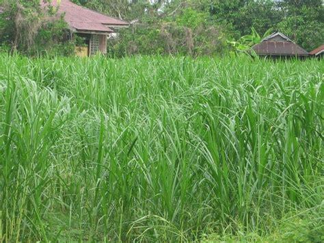 Benih Rumput Gajah Di Malaysia bidangusaha lembu pedaging sebagai sumber makanan