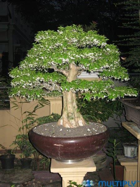 Earing Anting Bunga beautiful bonsai bonsai anting putri wrightia religiosa