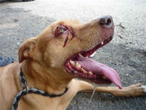 how do dogs bleed and cat bleeding what to do to stop it fast veterinary secrets with dr